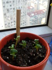 I took a picture of sprouts appearing in a teacup that I have on my balcony window sill.