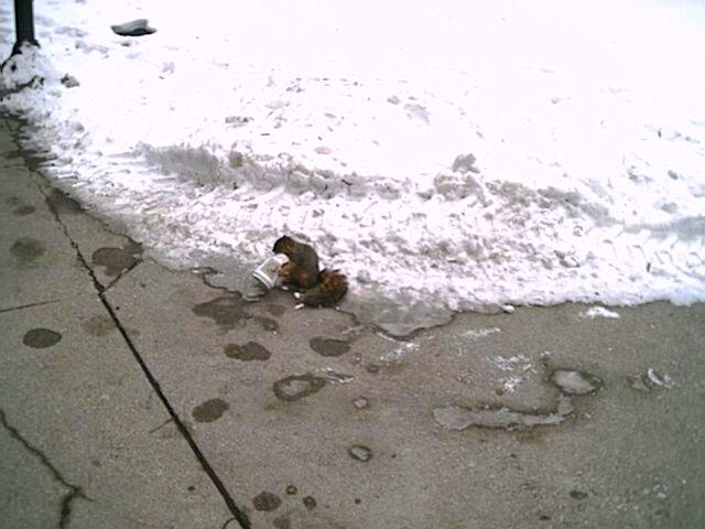 Ann Arbor squirrels dont' wake up until they've had their morning coffee.