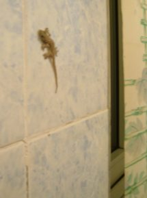 A tiny tan gecko about the length of my pinkie, glued to the tile wall near the window.